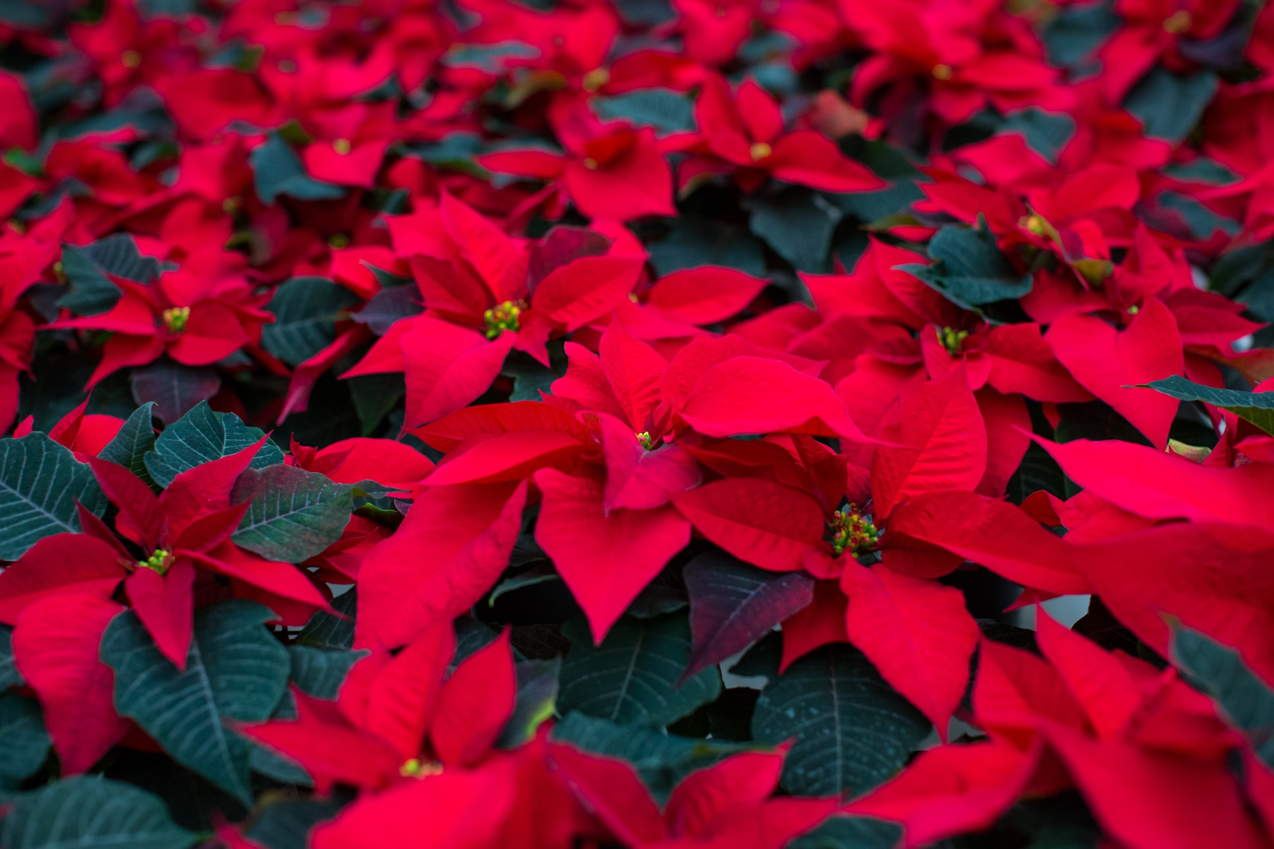 Characteristics: Poinsettias are known as the typical Christmas plant, and  are often just considered red. But the plants also come in white and pink  and a ...