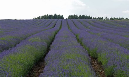 Can lavender help you get a good night's sleep?